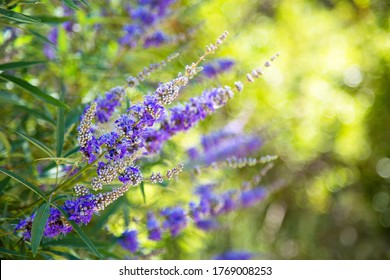 Beautiful background of a blooming purple medical plant Vitex Agnus Tree, Close up, sunny day. Shrubs with lavender flowers. Cover for notebooks, albums, calendars