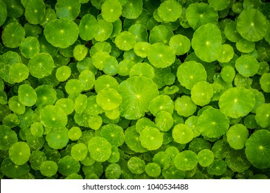 Beautiful background of Centella asiatica, Herbs help to heal inflammation.