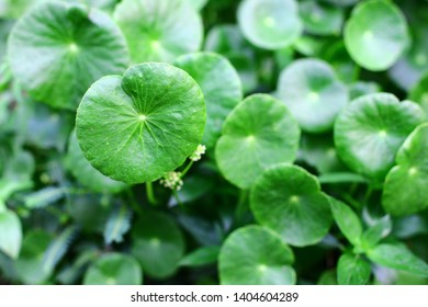 Beautiful background of Centella asiatica, Herbs help to heal inflammation,Herbal medicine leaves of Centella asiatica known as gotu kola