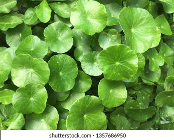 Beautiful background of Centella asiatica known as Gotu Kola, centella, Asiatic pennywort is medicinal plant, herbaceous. It use as a culinary vegetable and as a medicine herb.