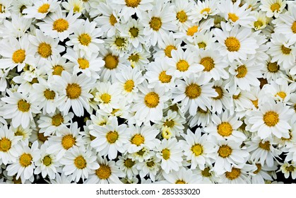 Beautiful background of chrysanthemum flowers in the park.
