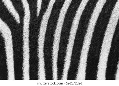 Beautiful background close up of the black and white striped fur of the plains zebra (Equus quagga, formerly Equus burchellii), also known as the common zebra