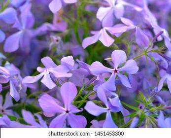 Beautiful background with creeping phlox, Phlox subulata, moss phlox flowers. Gardening theme. Close up view, selective focus imag