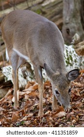 Beautiful background with the cute wild deer eating the leaves in the forest