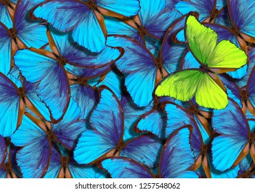 beautiful background with lot of different butterflys. wings of a butterfly morpho