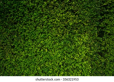 Beautiful background green leave wall