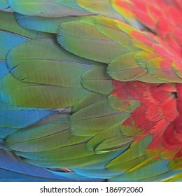 Beautiful background of Greenwinged Macaw feathers pattern