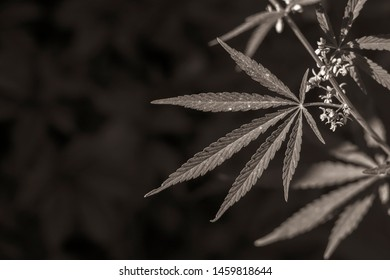 beautiful background with the image of leaves and branches of marijuana or hemp, which is used for medical purposes