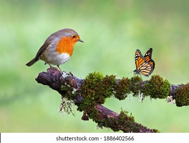 Beautiful background image of a wild robin (Erithacus rubecula) with stunning colors and a monarch butterfly (Danaus plexippus) standing on a branch. Tiny and cute bird looking at a prey butterfly.