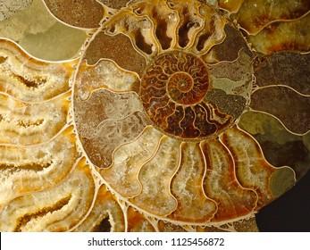 beautiful background of petrified extinct fossil shell animal Ammonite Nautilus, Jurassic and Mesozoic era, marine mollusc chamber cut in spiral shape, symbol of family happiness, wealth and eternity