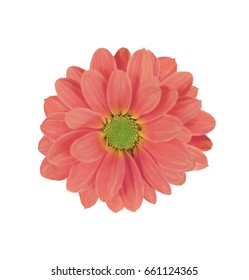 Beautiful background of pink daisy flower isolated on white