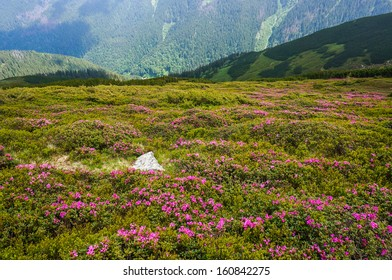 Beautiful background with pink flowers in the mountains