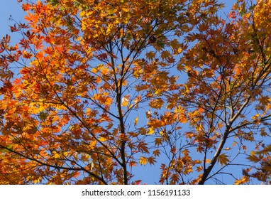 Beautiful background of seasonal colorful trees and blue sky landscape in autumn style at Kanazawa, Ishikawa, Chubu, Japan