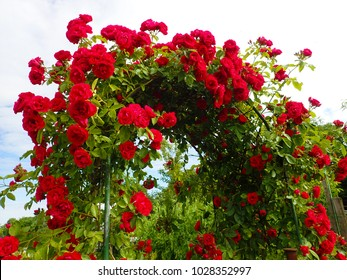 a beautiful background of a stunning arch with red scarlet climbing roses growing in the garden against blue sky