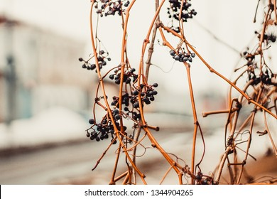 beautiful background texture consisting of dry vines with black grapes on the street