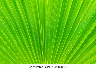beautiful background texture of green palm leaf close up. template for Wallpaper or desktop design