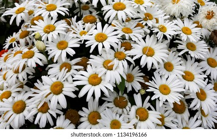 Beautiful background of wild white daisies.