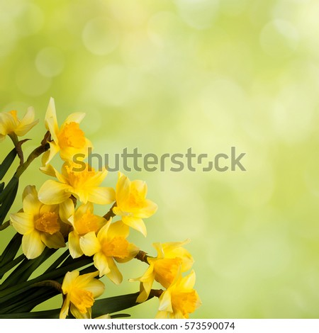 Beautiful background yellow flowers daffodils springtime stock photo beautiful background with yellow flowers daffodils springtime colorful greeting card for mothers day mightylinksfo