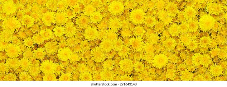 Beautiful background from yellow flowers. Letterbox format.