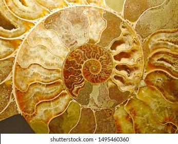 beautiful background of yellow golden brown petrified extinct fossil shell animal Ammonite Nautilus, Jurassic and Mesozoic era, marine mollusc chamber cut in symmetrical spiral shape