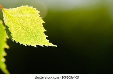 Beautiful backlit birch tree leaf by a dark green natural background