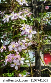 Beautiful backlit clemaits flowers on branches at the gate of the garden, close up beautiful, romantic shot