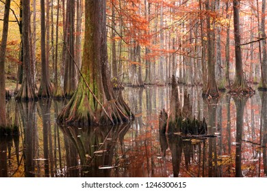 Beautiful bald cypress trees in autumn rusty-colored foliage, their reflections in lake water. Chicot State Park, Louisiana, US