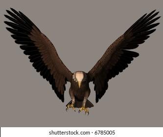 A beautiful bald eagle in flight.