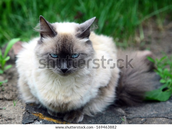 Beautiful balinese cat