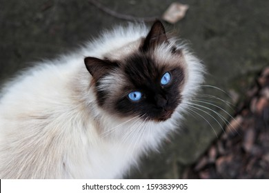 Long Haired Siamese Images Stock Photos Vectors