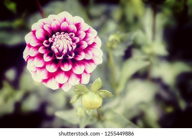 Beautiful ball dahlia flower, perfect natural symmetry in variegated purple red and white, soft focus, blurred background