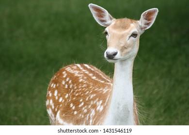 Beautiful Bambi deer close up in Surrey England