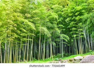 Beautiful Bamboo Grove Near Senganen Garden in Kagoshima