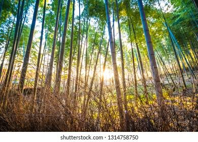 Beautiful bamboo grove tree in arashiyama area Kyoto Japan