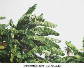 Beautiful of banana tropical leaves
