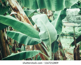 Beautiful of banana tropical leaves