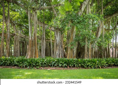 Beautiful Banyan tree in botanical garden