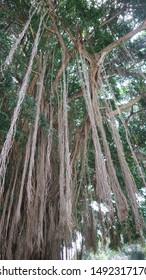 beautiful banyan tree roots, sturdy, cool green leaves.