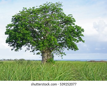 Beautiful baobab tree in Mauritius in sugar cane field besides blue sky