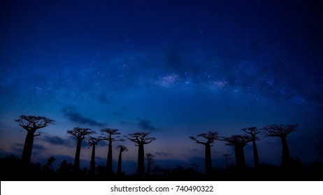 Beautiful Baobab trees avenue of the baobabs in Madagascar as the landscape with Milky Way ,Beautiful night starry sky  in summer. Universe. Travel background