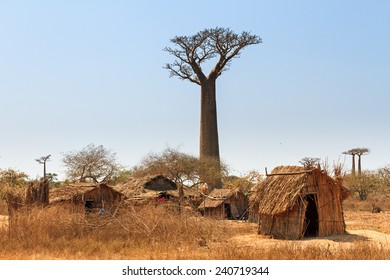 Beautiful Baobab trees and traditional houses at the avenue of the baobabs in Madagascar