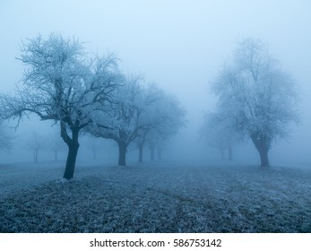 Beautiful bare apple tree standing in rows in a snow covered winter landscape during a stiff fog.