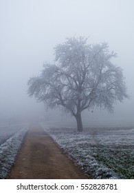 Beautiful bare but frost covered apple tree standing alone in a foggy winter landscape.