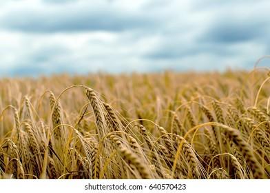 Beautiful Barley Field in period harvest on background cloudy sky. Barley field detail.
