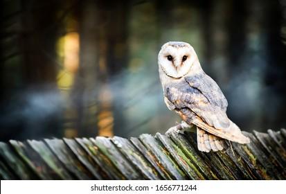 Beautiful barn owl bird  in natural habitat sitting on old wooden roof.