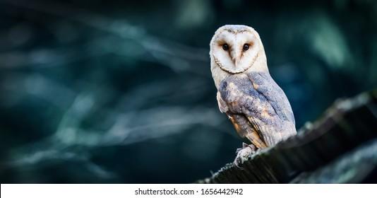 Beautiful barn owl eagle bird hide in natural rustic barns habitat. Owls wide banner or panorama photo.