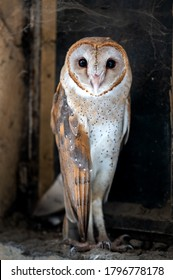 A beautiful barn owl looking at camera.