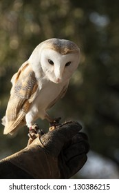 A beautiful  barn owl on falconer hand