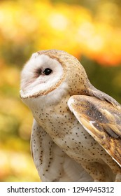 Beautiful barn owl with stunning colors against a blurred background of fall leaves.