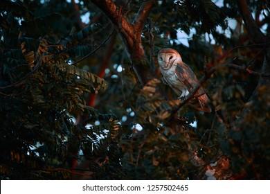 Beautiful Barn owl, Tyto alba, sitting on tree branch. Owl from Costa Rica. Beautiful evening light.